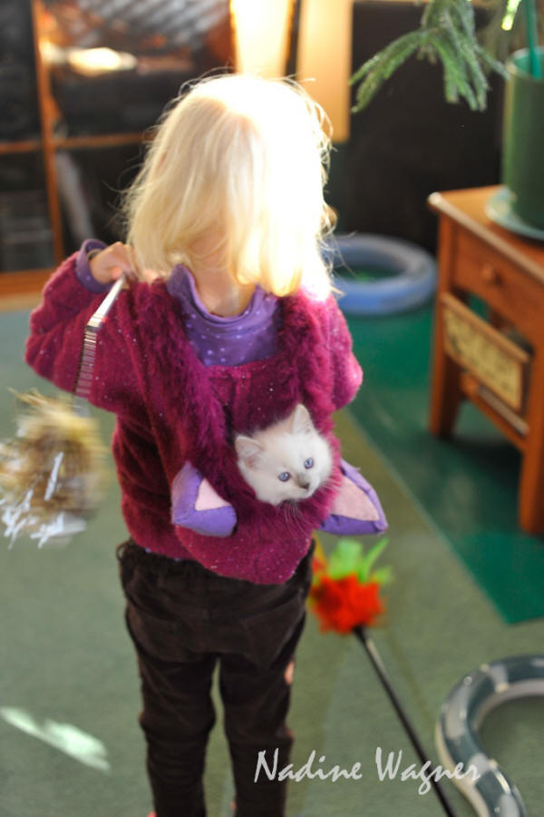 """When Alma comes to Play, lilac mitted girl getting a free ride.""  Yes, ragdoll kittens are kid friendly."