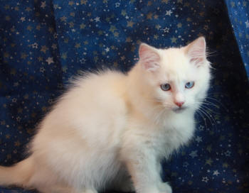 # 1587 is a Lilac Bicolor female, family allergy problem so she is available. Discounted as she is older now.