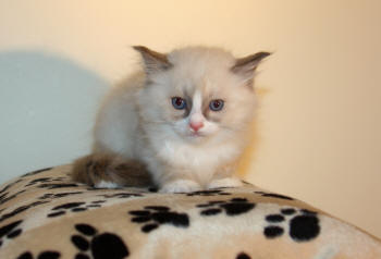 #2310 is a Blue Mitted Bicolor Male kitten ready for November