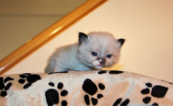 #2315 is a Seal Point Mitted Female ready just in time for Christmas. One male also. Watching colors develop on the newborn litter, let me know if you are waiting for some particular color or pattern.