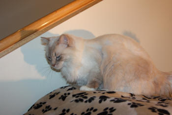 #2922 Lilac Lynx Point Mitted boy, super sweet, only 1.5 years old. Can go soon