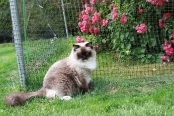 #6521 is a 5.5 year old Seal Mitted Mature Cat