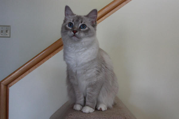 "Izzadorablerags Silver Dust ""Dusty""  Blue Lynx Mitted (carries Lilac) a Big tall girl with beautiful eyes"